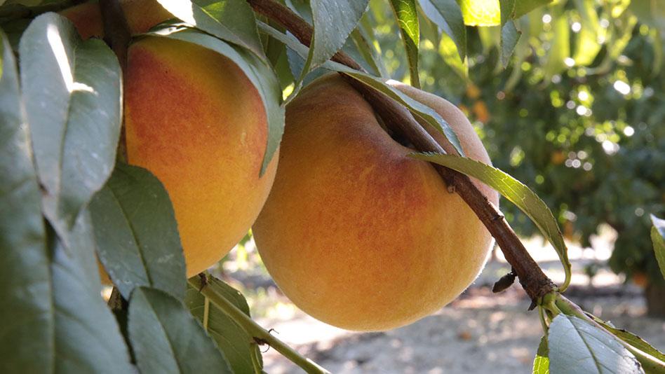 La fruta de hueso seguirá teniendo ayudas un año más frente al veto ruso
