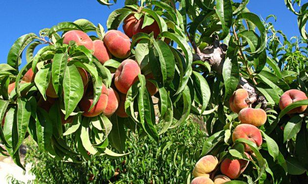 La fruta de hueso este año será de mucha calidad según FEPEX