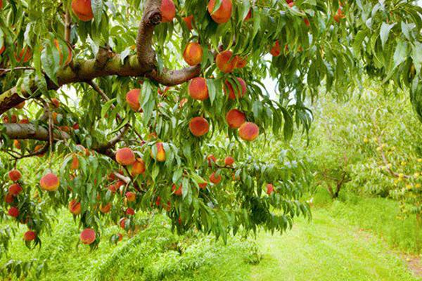 Los sindicatos agrarios exigen «soluciones» para evitar la caída de precios de la fruta de hueso