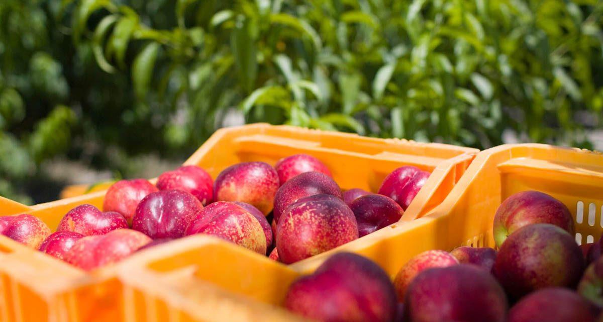 Los agricultores de la fruta de hueso piden medidas urgentes y efectivas