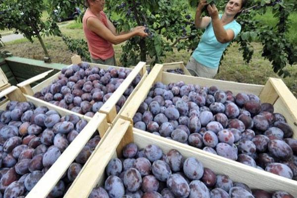 Los grupos políticos de Extremadura piden al Gobierno que incluya la ciruela en el cupo de retirada de fruta de hueso